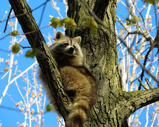 Mignon raton / Cute raccoon / 4
