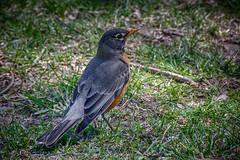 Regal Robin (KWPashuk) Tags: nikon d7200 sigma18250mmdcmacro lightroom kwpashuk kevinpashuk robin bird nature spring outdoor bronte beach park oakville ontario canada