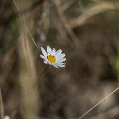little daisy (ΞSSΞ®®Ξ) Tags: ξssξ®®ξ pentax k5 2017 spring countryside lazio italy flowers bokeh outdoor blossom light depthoffield plant daisy little smcpentaxm50mmf17 stradadipomata tivoli leucanthemumvulgare