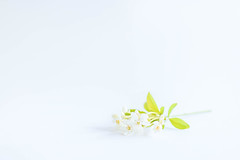 19/30: Blossoming (judi may) Tags: april2017amonthin30pictures blossom highkey white whitebackground whiteonwhite negativespace simplicity simple delicate soft green lessismore less minimalism minimal
