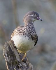 Mandarin Duck (female) (peterspencer49) Tags: peterspencer peterspencer49 duck mandarinduck