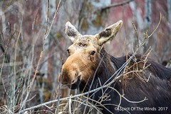 Ole Mildred (jimgspokane) Tags: moose turnbullwildliferefuge wildlife animals washingtonstate trees forests