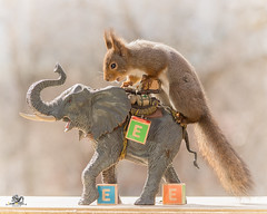 The e from elephants (Geert Weggen) Tags: red nature animal squirrel rodent mammal cute look closeup stand funny bright sun backlight staring watching hold glimpse peek up tail message communication letter woodenframe capitals numbers learning school child education learn baby word alphabet teacher elephant book kiss geert weggen hardeko sweden bispgården jämtland