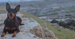 Django (lilcris) Tags: dog outdoor perro pinscher minipin django alicante