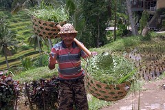 Rice farmer (Uhlenhorst) Tags: 2016 indonesia indonesien bali people menschen travel reisen