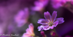 Shadow in Pink (frederic.gombert) Tags: flower flowers pink color sun sunray ray yellow macro garden nikon