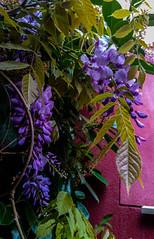 2017-04-17 – Monday Blues (Allan Holdsworth) (Robert - Photo du jour) Tags: avril 2017 regarddunjour mondayblues allanholdsworth glycine violet bleu maison facade rouge plante blues