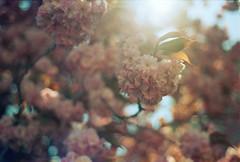 (farbstich.) Tags: cherry flower prunusserrulata sakura spring pink kirsche blütenkirsche analog 50mm film nikonfm2n bokeh