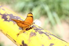 Borboleta bairro São João JM - Wir Caetano - 26 04 2017 (28) (dabliê texto imagem - Comunicação Visual e Jorn) Tags: borboleta inseto amarelo escada ferrugem