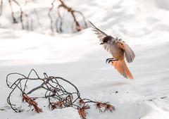 Siberian Jay landing (Nippe16) Tags: bird birds flight birding nature bif outdoor wildlife finland animal animals color colorful snow winter