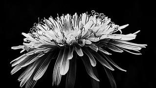 365-112 Dandelion