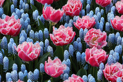 IF8A6247 (cwhilbun) Tags: keukenhof 2017 lisse holland netherlands spring tulip muscari pink blue outdoors