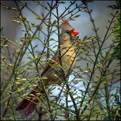 Female Cardinal In Light Cover (Rodrick Dale) Tags: female cardinal mount plesant cemetery toronto ontario canada bird northern bush