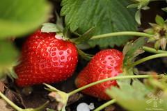 Strawberries (Pentas Creations) Tags: strawberries strawberry garden homegrown macro closeup unlimited