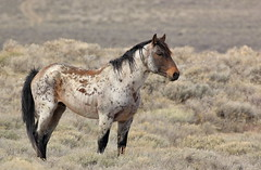 Ragnar (chad.hanson) Tags: wyoming reddesert wildhorses mustangs wildlife stallion