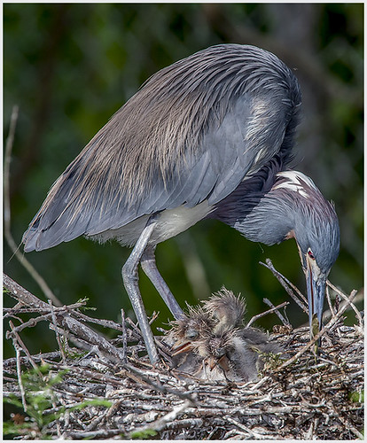 Tri-colored Heron with Young by Chuck Peterson - Class B Digital Honorable Mention - March 2017.