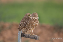 Honey, I need to tell you something (Maja's Photography) Tags: birds burrowingowl owls owlsbirds wildlife feathers conservation protected nature perched mates love