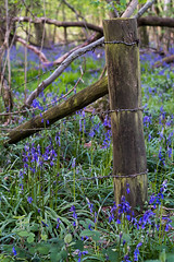 Bluebells and fence