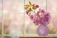 Cherry Blossoms (lynne186) Tags: spring blossoms vase still life pink