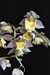 Catasetum tigrinum x fimbriatum (species orchids) Tags: catasetumtigrinumxfimbriatum orchids plants botanical