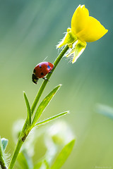 la cox à la fleur jaune (bonacherajf) Tags: macro corse corsica insecte coccinelle