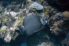 Gray Angelfish (Jeff Mitton) Tags: grayangelfish pomacanqhusactuates coral fish marine tropical scuba guanaja honduras earthnaturelife wondersofnature