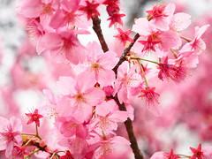 Beautiful blossom! (Digidoc2) Tags: cherryblossom tokyo japan cherry delicate blossom tree pink beautiful flowers spring