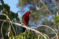 King Parrot (Byron Taylor) Tags: kingparrot parrot yellowrobin birds wildlife nature australia dural duralnaturereserve naturereserve canon canon7d