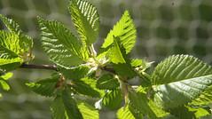 05-IMG_8605 (hemingwayfoto) Tags: baum blatt feldulme flügelnuss laubbaum makro pflanze ulmeminor
