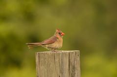 Lady Cardinal (Woolmarket100) Tags: cardinal ladycardinal sogma159500mm nikond500