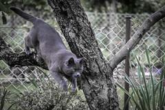 Playtime :-) (Aufklatscher) Tags: katze cat jagen jagd chase chasing fokussiert focused fokus focus grey grau green grün katzenaugen cateye garten garden tier animal pet haustier sprung springen jäger jump