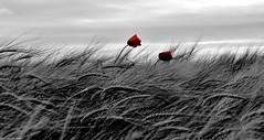 Coup de Mistral... (SabineLacombe) Tags: coquelicot rouge champs blé berreletang paca provence bouchesdurhone nature vent mistral