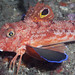 Eastern Spiny Gurnard