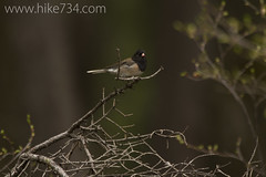 """Dark-eyed Junco • <a style=""""font-size:0.8em;"""" href=""""http://www.flickr.com/photos/63501323@N07/8758245068/"""" target=""""_blank"""">View on Flickr</a>"""