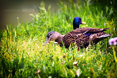 (*Emilio Giordano) Tags: green couple natura animali coppia anatra germanoreale