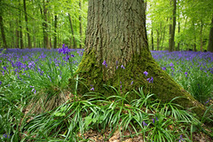 Ashridge Estate (Nada*) Tags: uk flowers blue trees england detail tree green nature grass leaves les bluebells forest wow season outdoors woods natural hiking walk hike fresh growth treetrunk vegetation trunk flowering environment wald bluebell priroda strom baum ashridge umwelt inbloom baume ashridgeestate flooming
