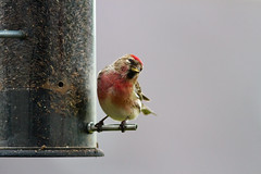 red poll (ritchiecam) Tags: bird nature canon scotland wildlife 7d 400mm