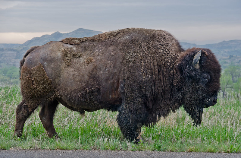A buffalo in the north unit of Theodore Roosevelt National Park. I don't recommend you get this close in person (I was in a car).