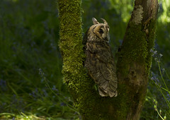 Long-eared-owl_6712 (Peter Warne-Epping Forest) Tags: uk bird canon ngc npc owl owls longearedowl asiootus