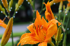 lotsa hex (Uncle Tee TX) Tags: flower color closeup austin texas bokeh daylily raindrops micronikkor5535 sonynex5n