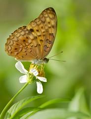 因為有你 Because Of You (Anna Kwa) Tags: macro art nature butterfly singapore butterflylodge brushfootedbutterfly nymphalid commonleopard phalantaphalantha