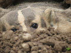 Sad Badger is Sad Now (Rose Colored Photo) Tags: badger oxbow