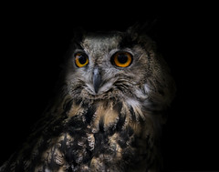 eagle owl (marcusbentus) Tags: portrait lumix eagle panasonic owl gx1 microfourthirds