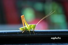 grasshopper (marco prete) Tags: verde green series grasshopper landrover insetto cavlletta 88iia