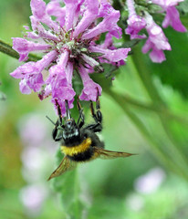 taking advantage of a quiet morning (littlestschnauzer) Tags: uk flowers summer west flower green nature wet water leaves rain rural garden shower countryside flying droplets wings quiet purple bees yorkshire july insects bee few lilac mauve mid damp proboscis emley pollination 2013 elementsorganizer11