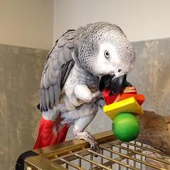 New toy #iago #greyparrot #igersseu #igerscatalonia