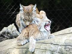 Lynx (ramridgedave) Tags: animal zoo kitten beds teeth bedfordshire lynx whipsnade zsl
