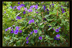 Solanum (Dora-A) Tags: light flower color green nature beautiful photography israel daylight colorful mediterranean day view bright country north picture middleeast galilee scene foliage holyland hdr mideast blooming flourishing   doraa northernkingdomofisrael