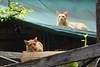 13-Bangkok & Flight (meg williams2009) Tags: cat bangkok thailand siamesecat cats pets animals cutecats funnycats beautifulcats feline kittens kitten