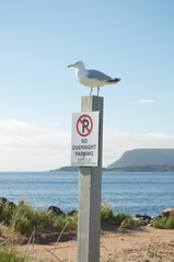 Seagull Don't Give a-- (Grant is a Grant) Tags: nova nikon ns atlantic cape cb scotia maritimes breton ingonish d90